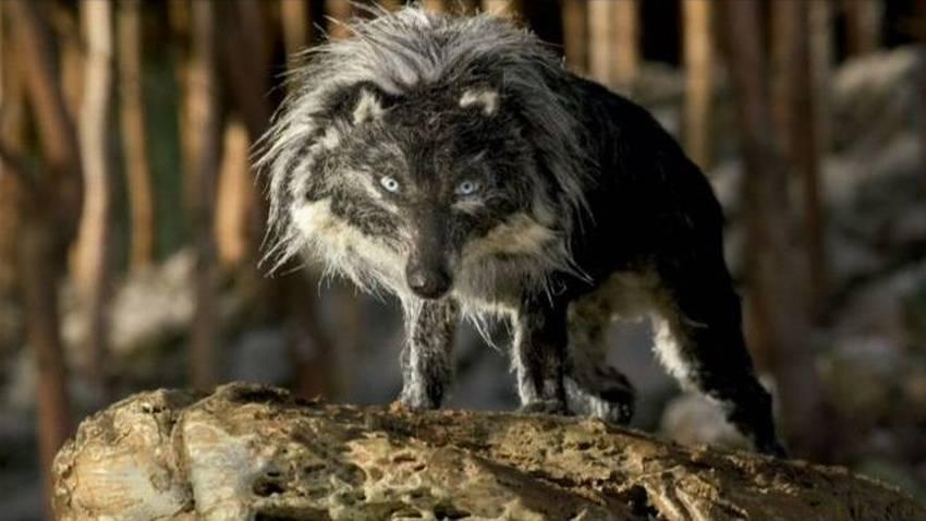 Top Avvistamento di lupi a Roccavignale: allarmismi ingiustificati HV27