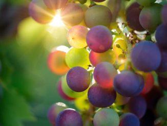 vinitaly - grapes