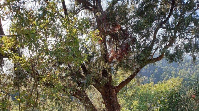 Loano -Árbol monumental en Verzi