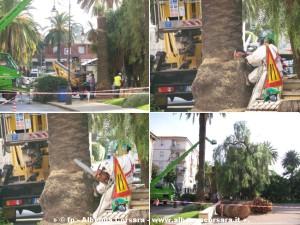 Taglio palme Albenga piazza popolo 4-10-2008