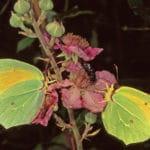 06 Wwf GoenopterixCleopatra OasiBurano FasbioCianchi2