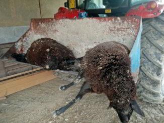 Lupi predano pecore in Valbormida