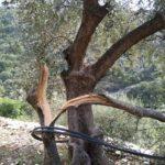 danni olivicoltura