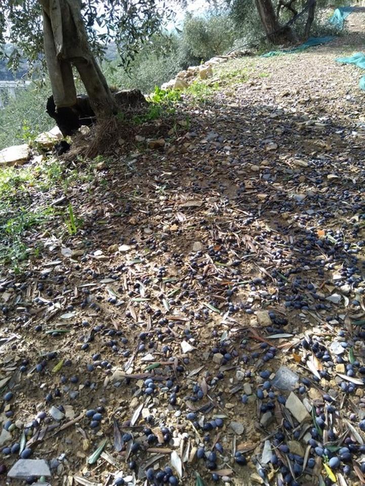 04 – danni olivicoltura – Liguria