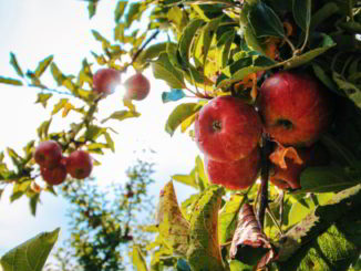 mele e albero di mele