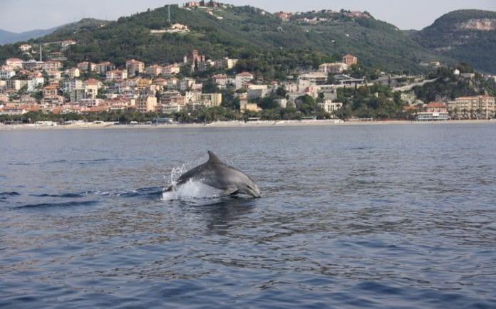 Tursipione nuota davanti al litorale di Finale Ligure