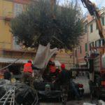 03 Ulivo secolare in Piazza Massena a Loano