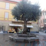 04 Ulivo secolare a dimora in Piazza Massena a Loano