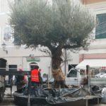 05 Ulivo secolare in Piazza Massena a Loano