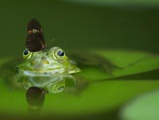 rana e farfalla nel verde lago