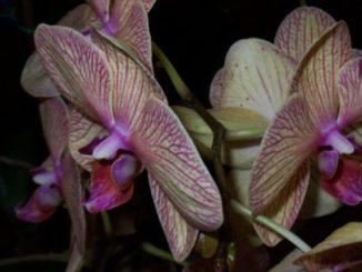 Orchidee effe