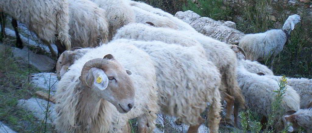 Pecore brigasche al pascolo ad Albenga