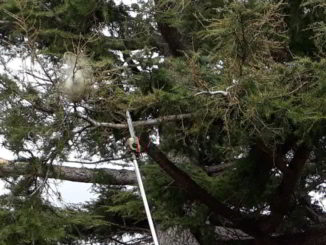 processionaria a Calice Ligure albero