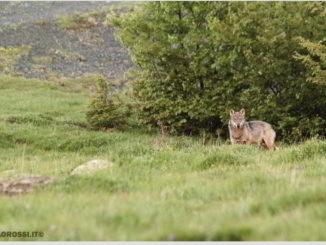 Avvistamento di un lupo ph Paolo Rossi