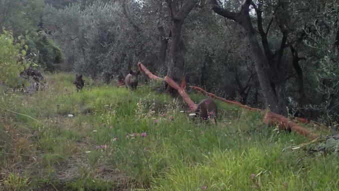 Cinghiali tra le fasce in Liguria