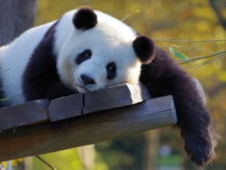 Un panda a riposo