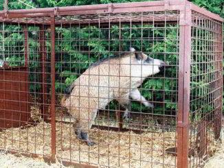 cinghiale in una gabbia