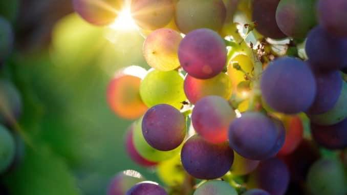 uva grappoli sole