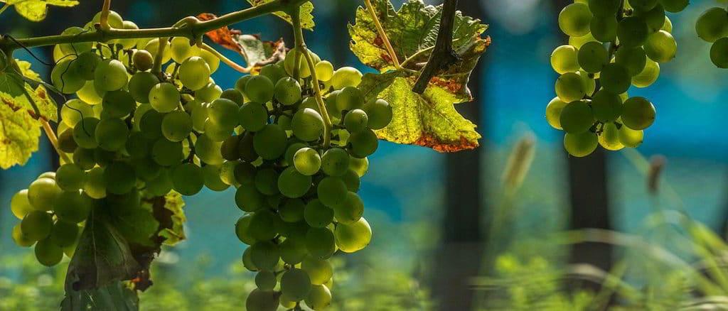 Grappoli di uva nella vigna