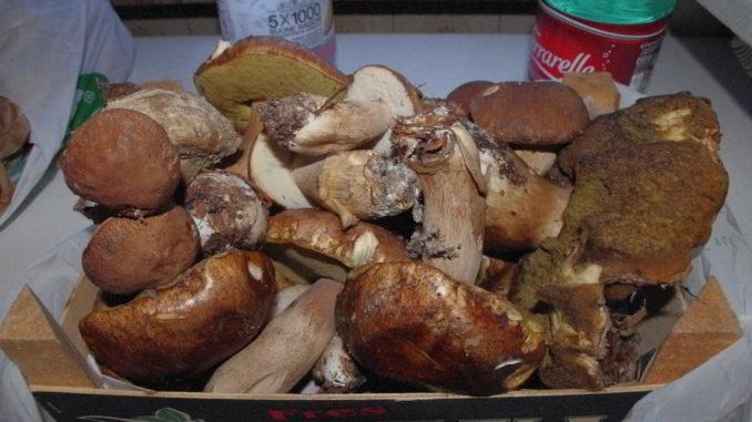 Funghi raccolti nel savonese
