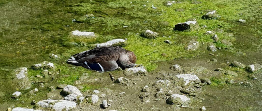 Germano reale trovato morto nel torrente di Loano