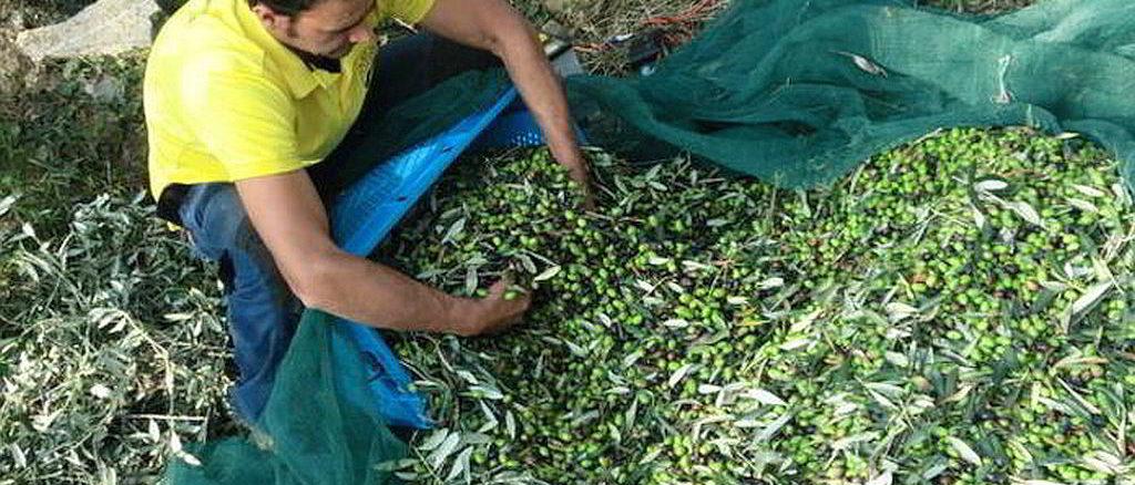 Raccolta delle olive in Liguria