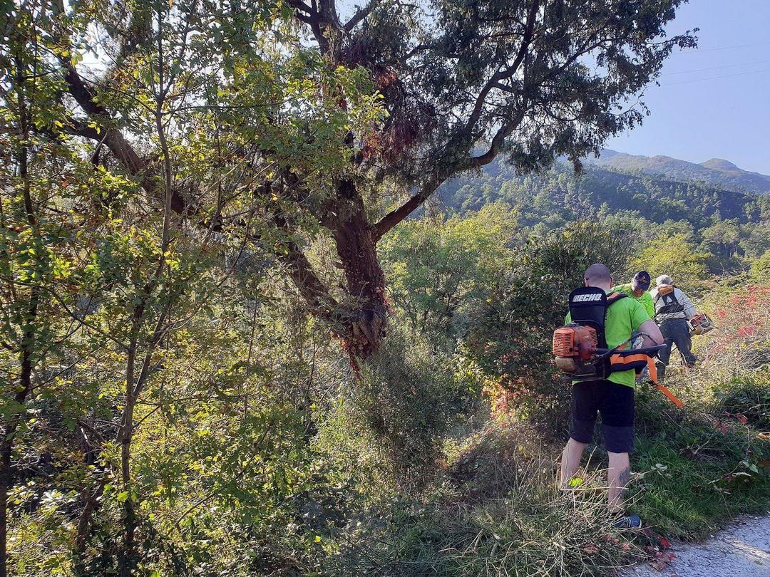 Amici del Carmo ripuliscono albero monumentale a Verzi di Loano 01