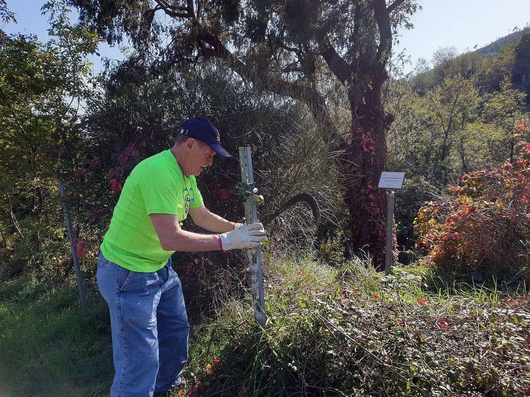 Amici del Carmo ripuliscono albero monumentale a Verzi di Loano 03