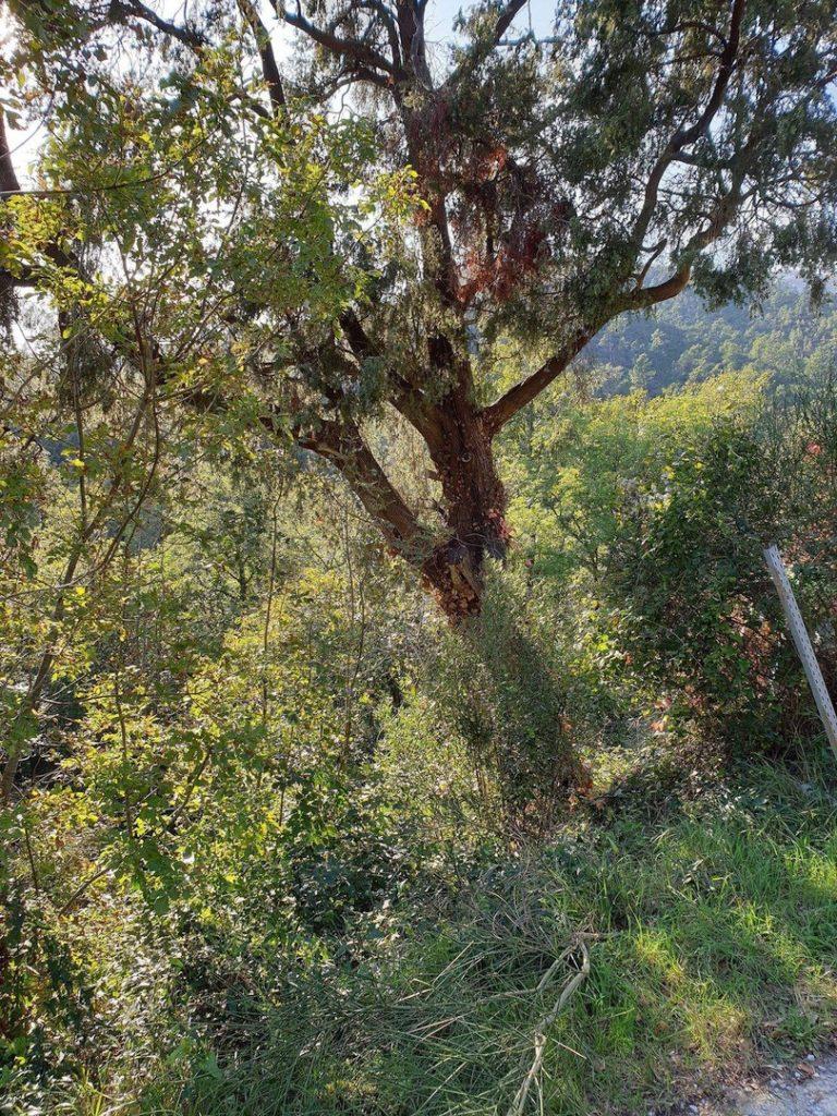 Amici del Carmo ripuliscono albero monumentale a Verzi di Loano 04