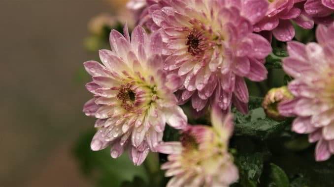 fiori crisantemi