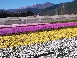 Floricoltura campi di fiori e serra nella piana di Albenga