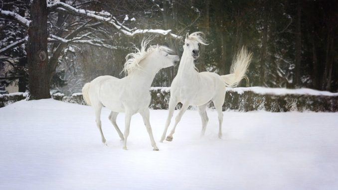 cavalli bianchi nella neve