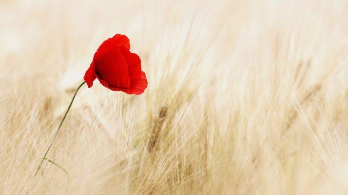 fiore rosso in un campo di spighe