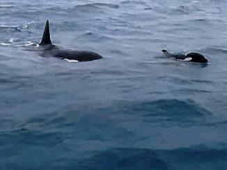 orche Liguria