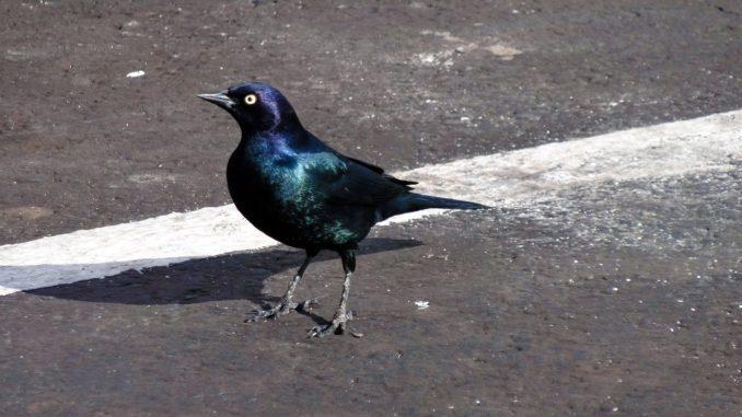 uccello sulla linea stradale
