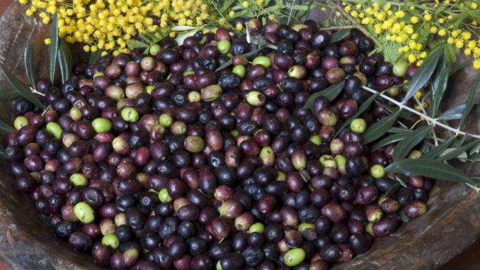 Olive e mimose di Liguria