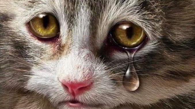 Gatto che piange