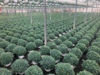 Serre Liguria produzione floricola