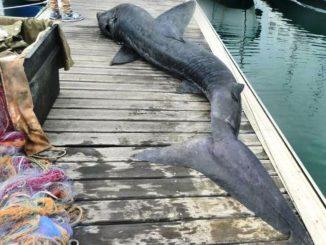 squalo elefante morto a Varazze