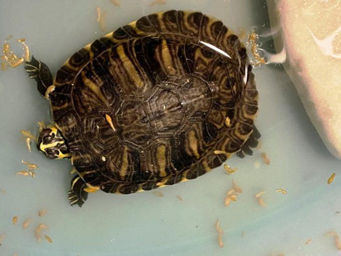 tartaruga ritrovata a Pietra Ligure