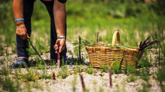 Asparago Violetto di Albenga