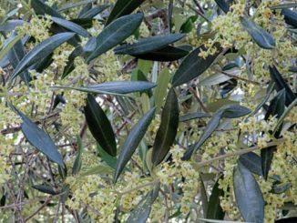 Fioritura deglo olivi in Liguria