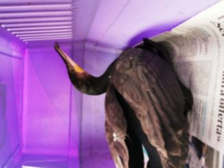 Enpa cormorano soccorso a Roccavignale