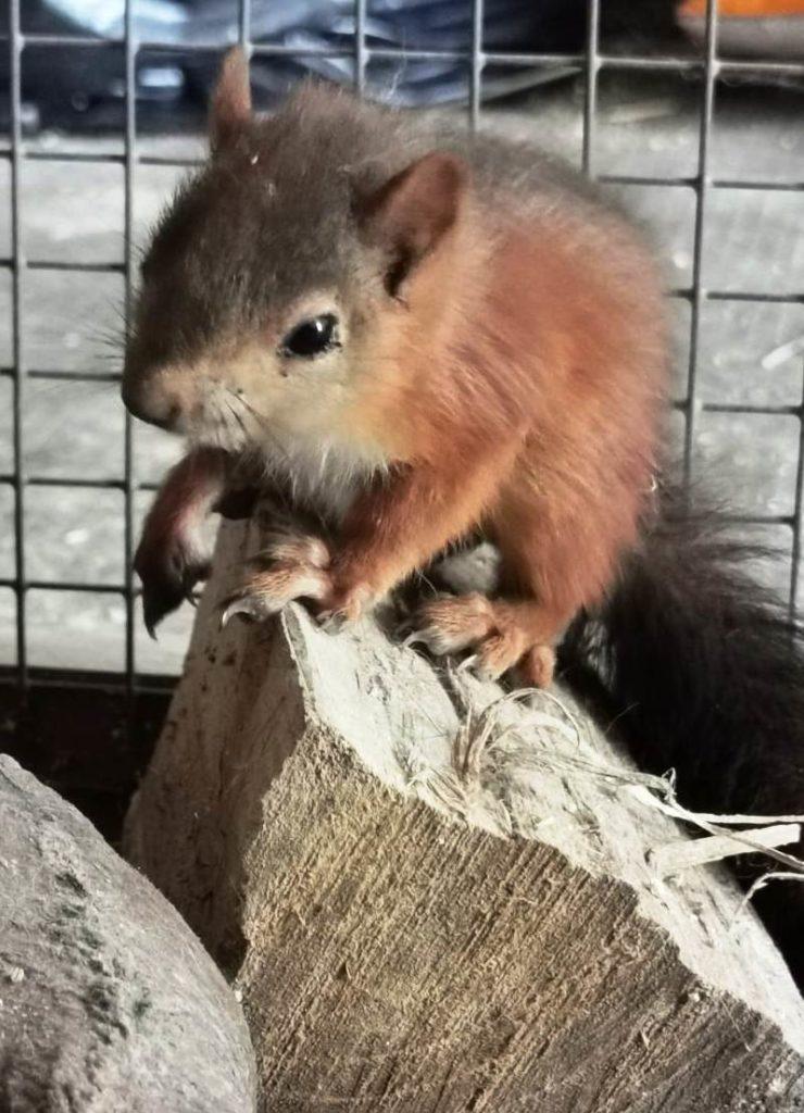 Enpa - scoiattolo soccorso a Toirano