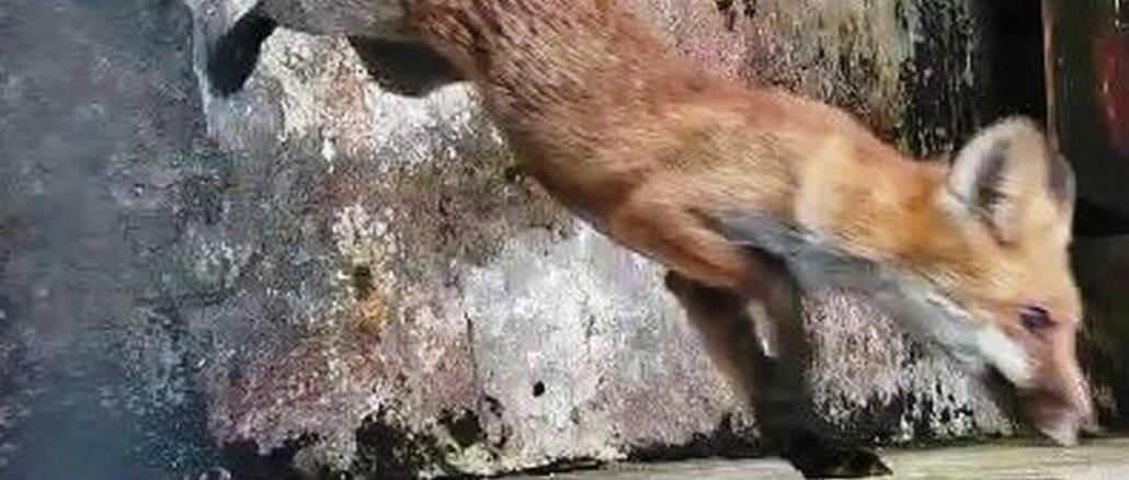 Enpa - volpe di Albisola Luceto