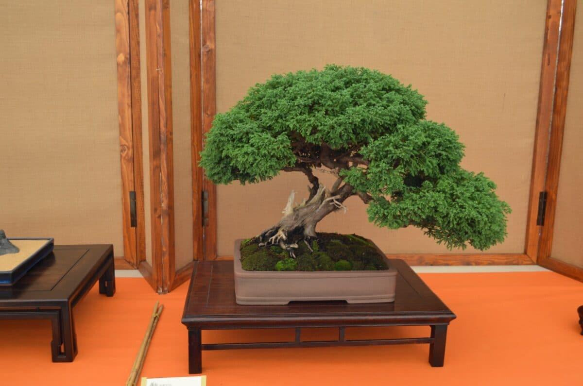 Festival bonsai ad Andota Foto archivio edizione 2018 01